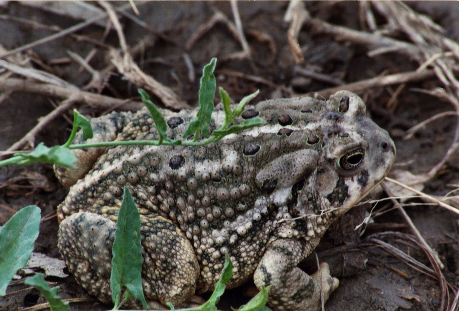 Close up of unidenitified frog or toad