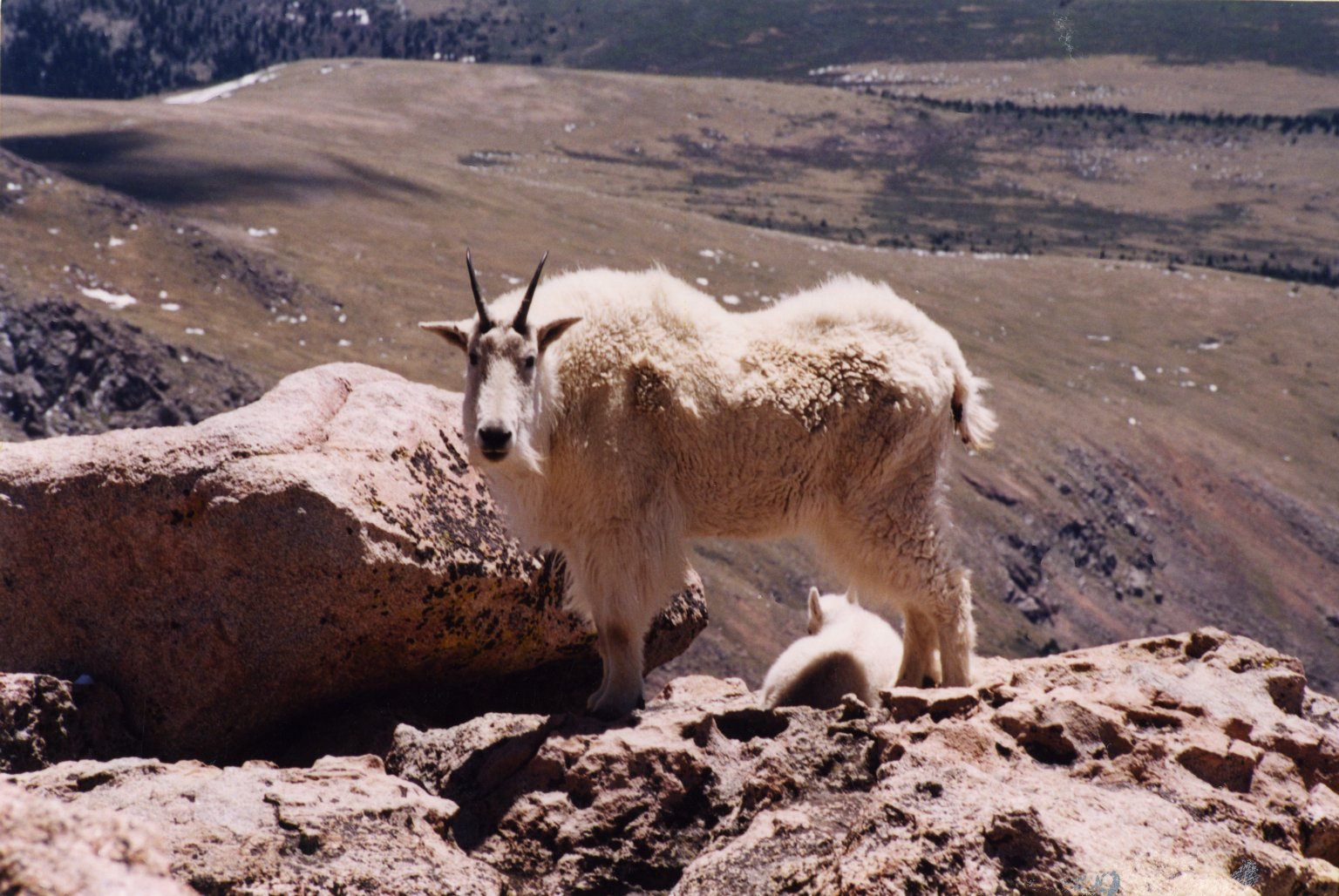 Close up of mountain goat on Mount Evans