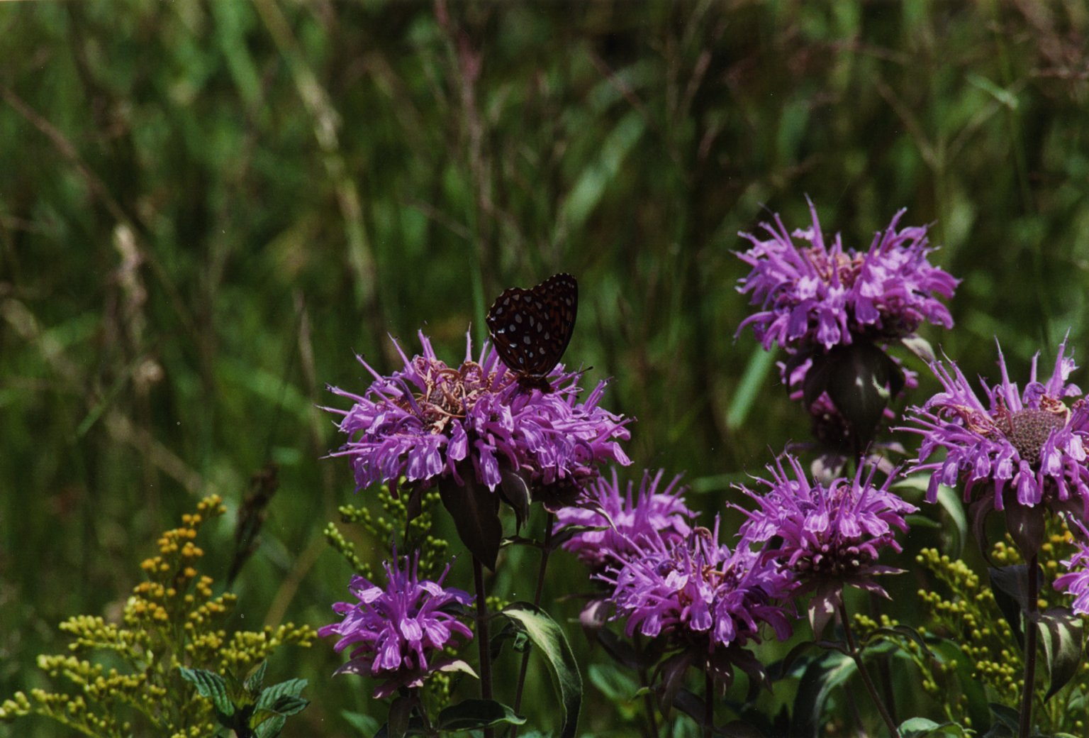 Close up of black and white butterfly and purple flowers