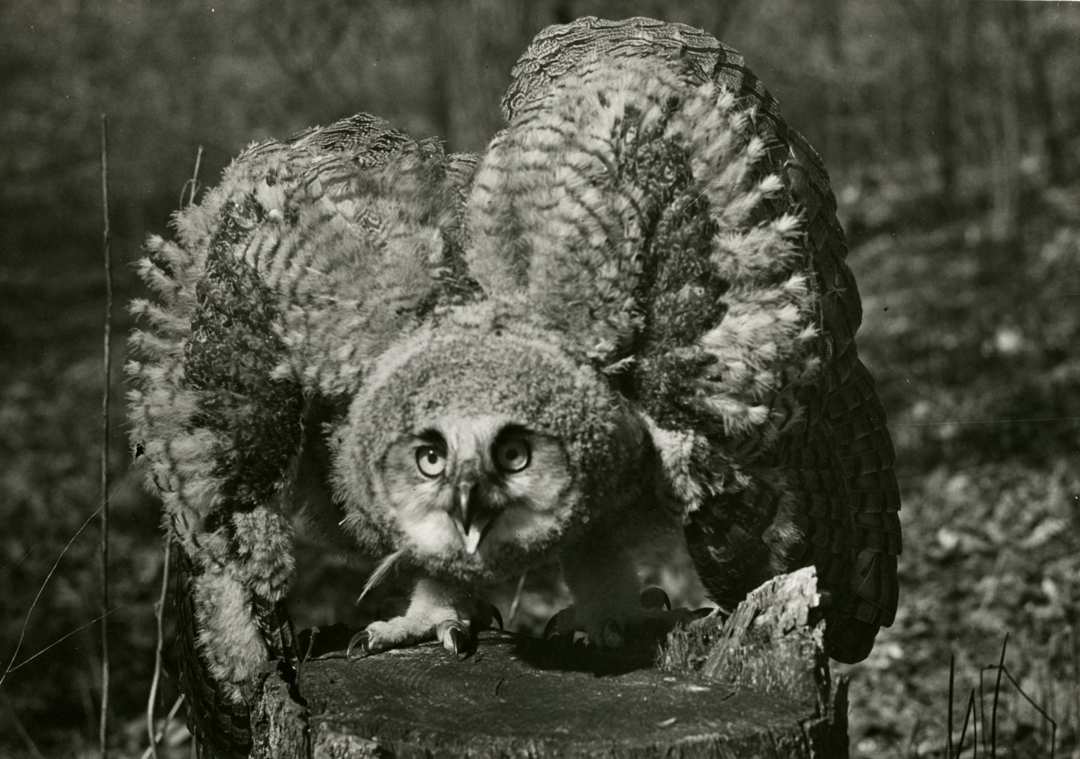 Close up of horned owl on tree stump