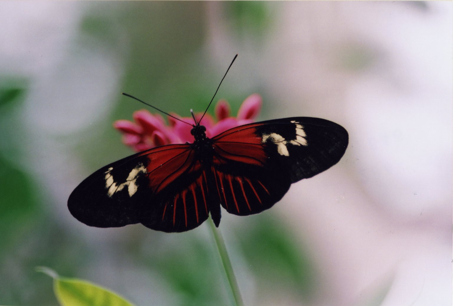 Close up of red and black butterfly on pink flower