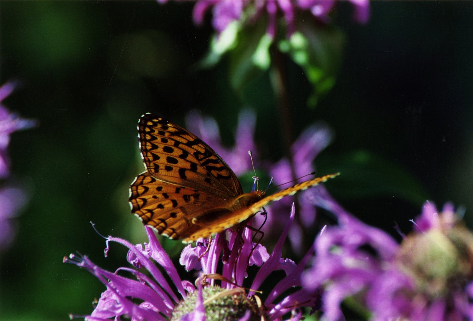 Close up of orange butterfly on purple flowers