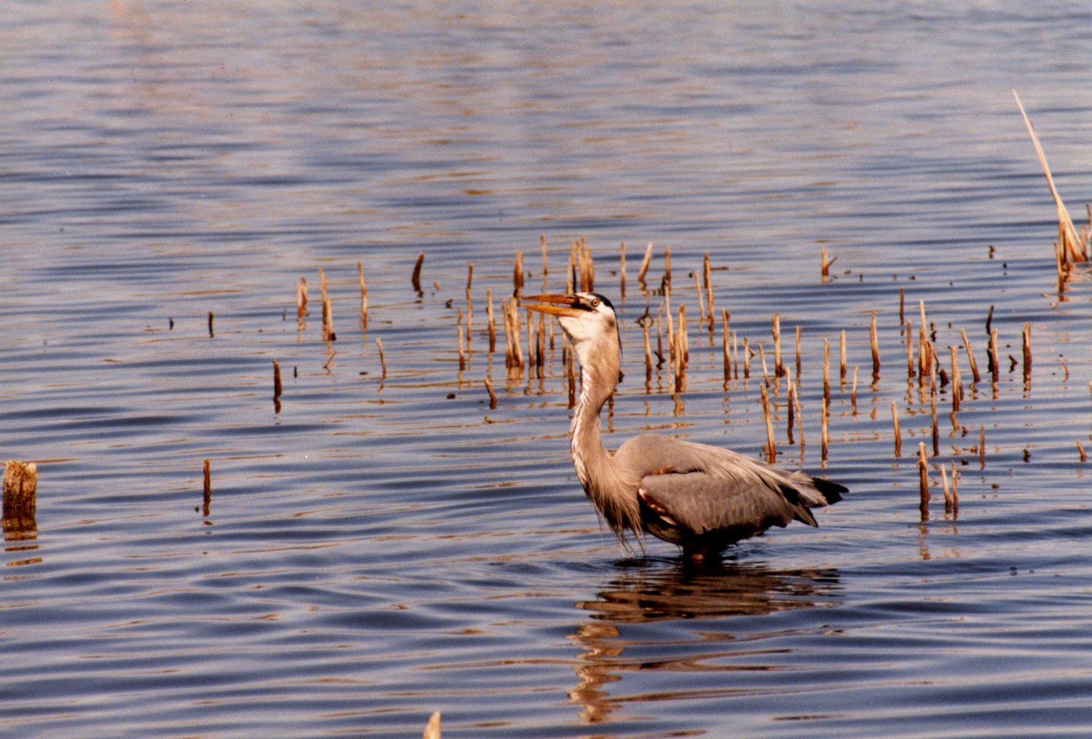Close up of pelican in water with reeds
