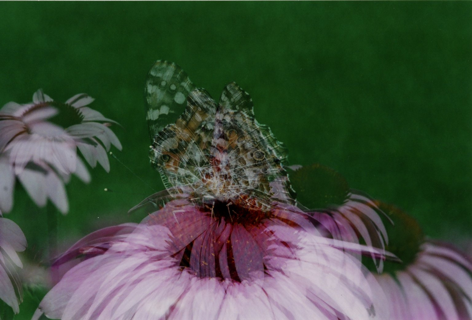 Nymphalidae Vanessa or painted lady butterfly on pink flower