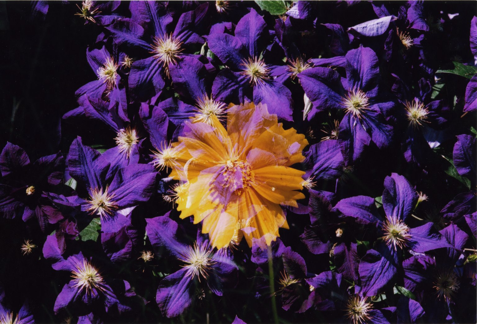Double Exposure - Orange flower over purple flowers