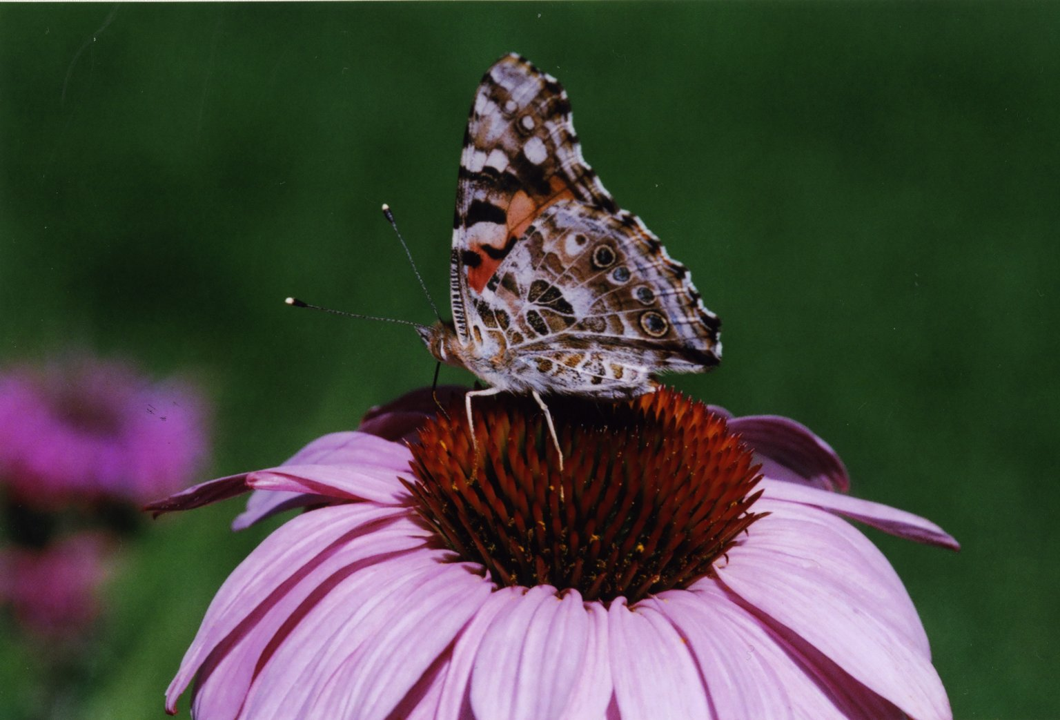 Close up of Nymphalidae Vanessa or painted lady butterfly sitting on pink flower