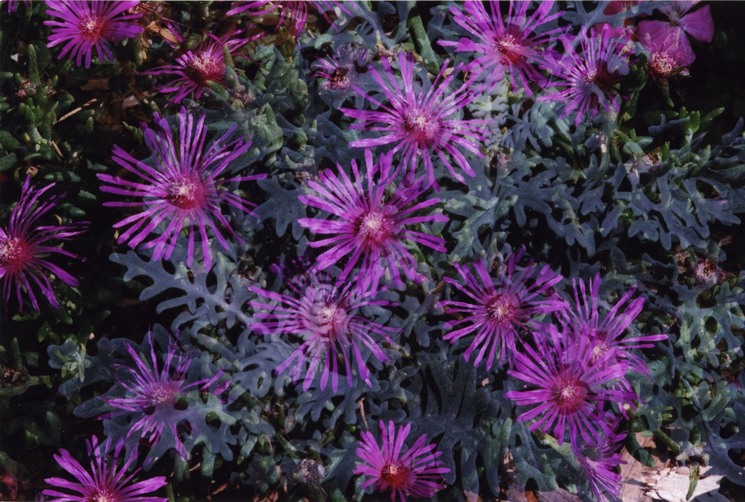 Double Exposure - Purple flowers over green plants