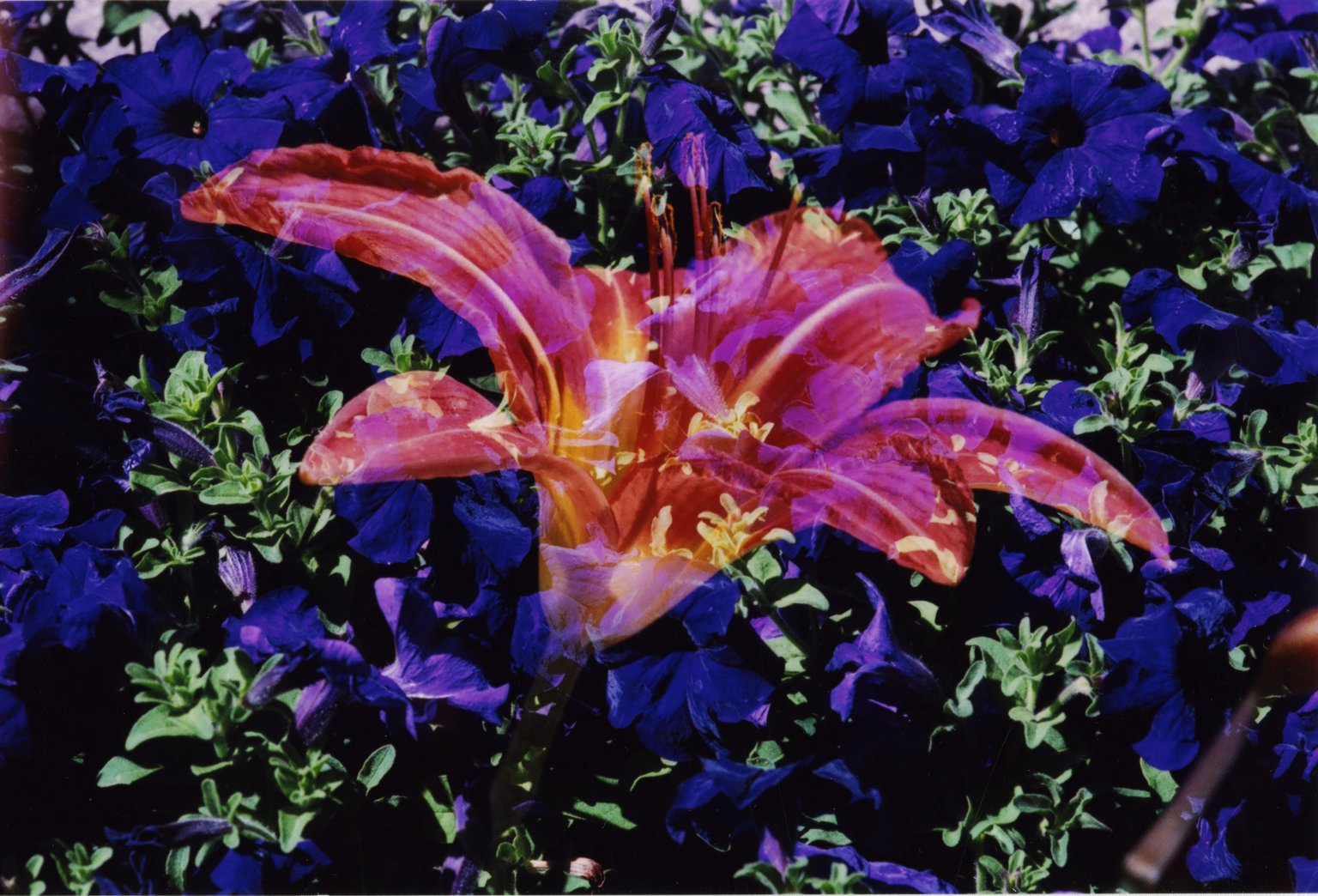 Double Exposure - Red lily over purple flowers