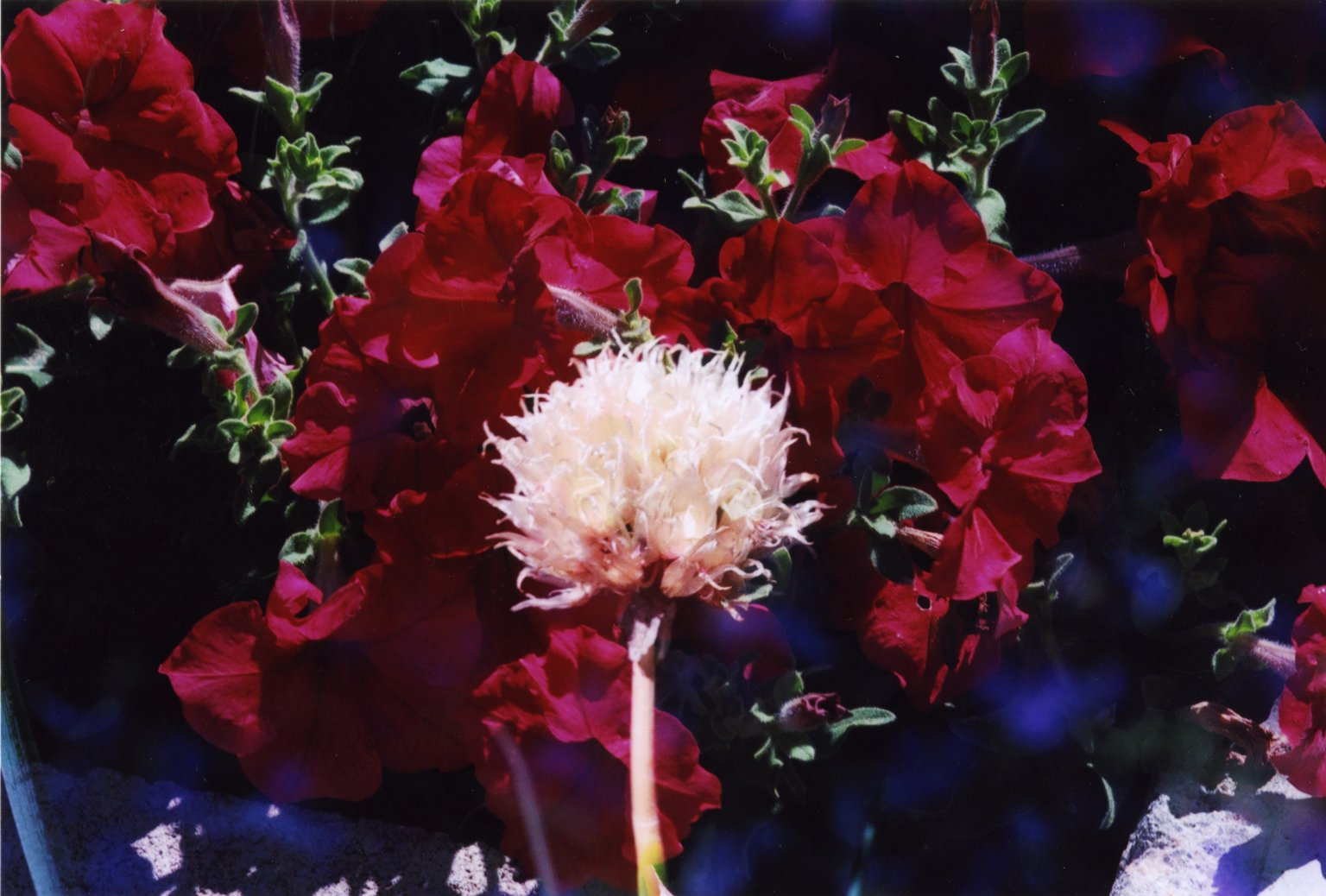 Double Exposure - White flower over red flowers