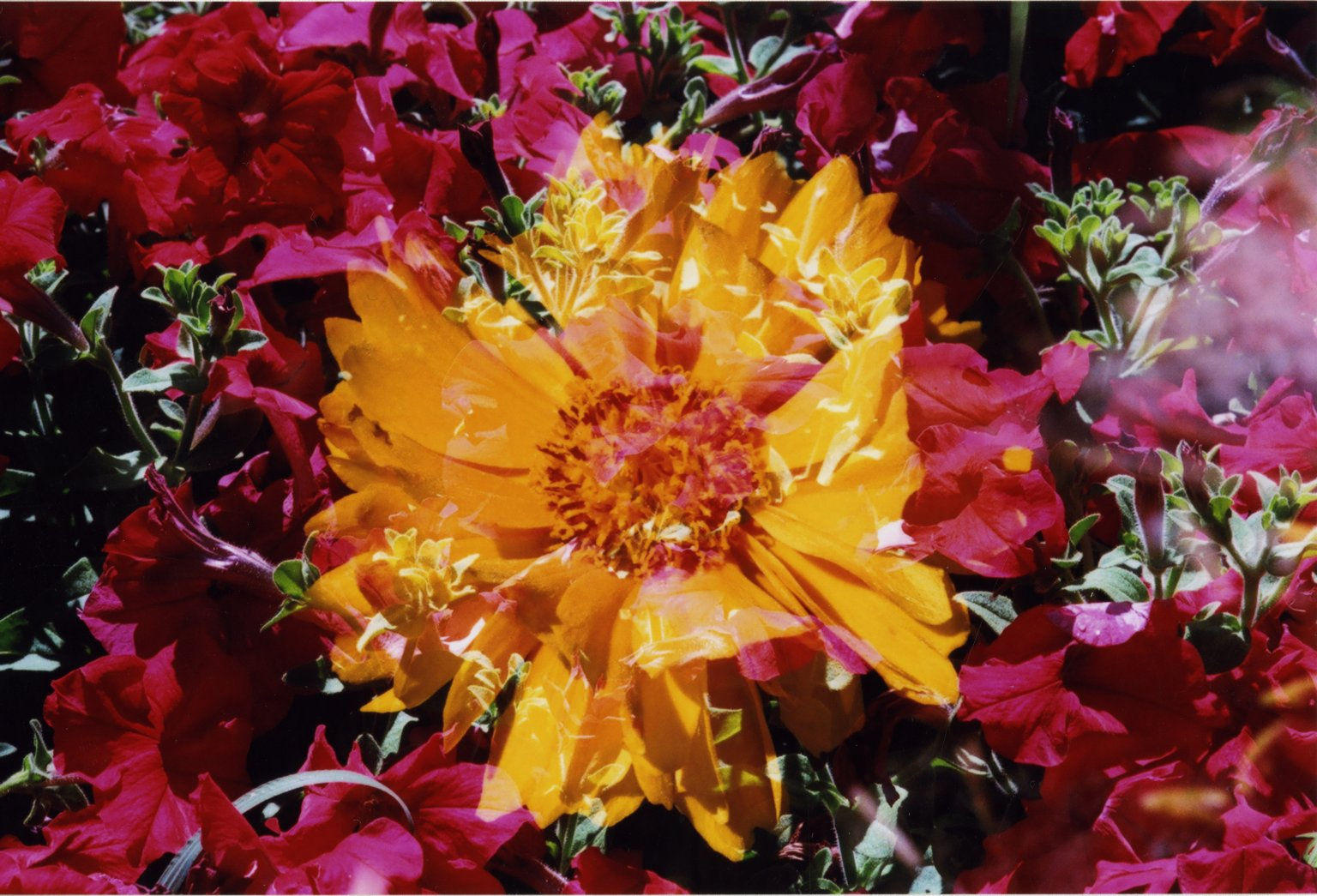 Double Exposure - Close up of yellow flower over red flowers