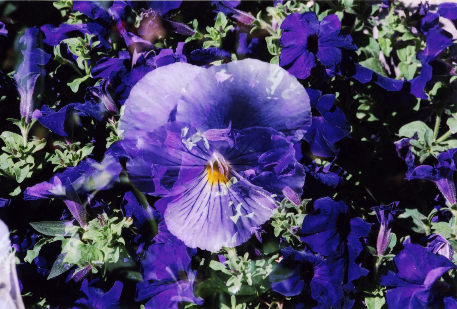 Double Exposure - Purple pansy over purple flowers
