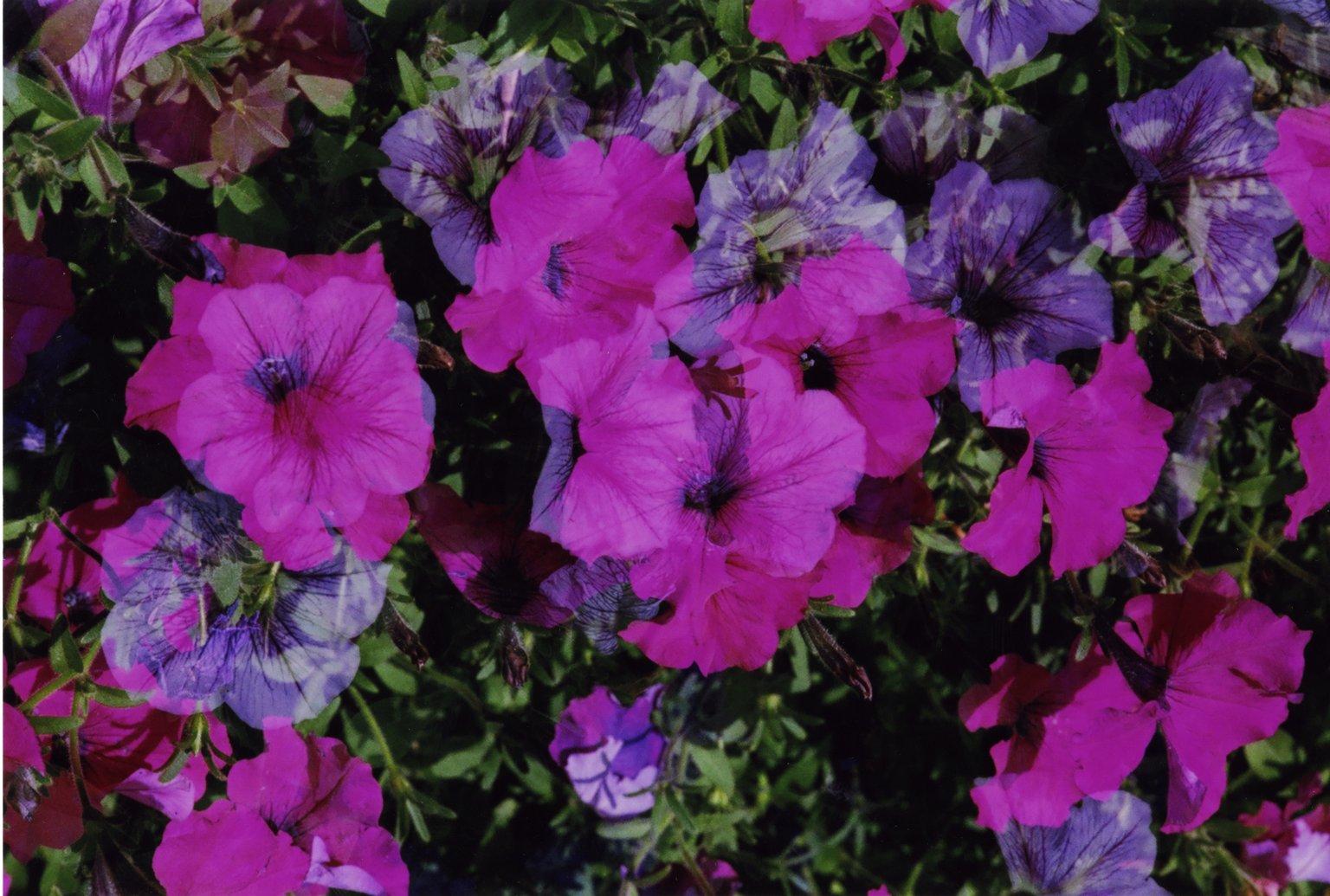 Doouble Exposure- Red flowers over pink flowers