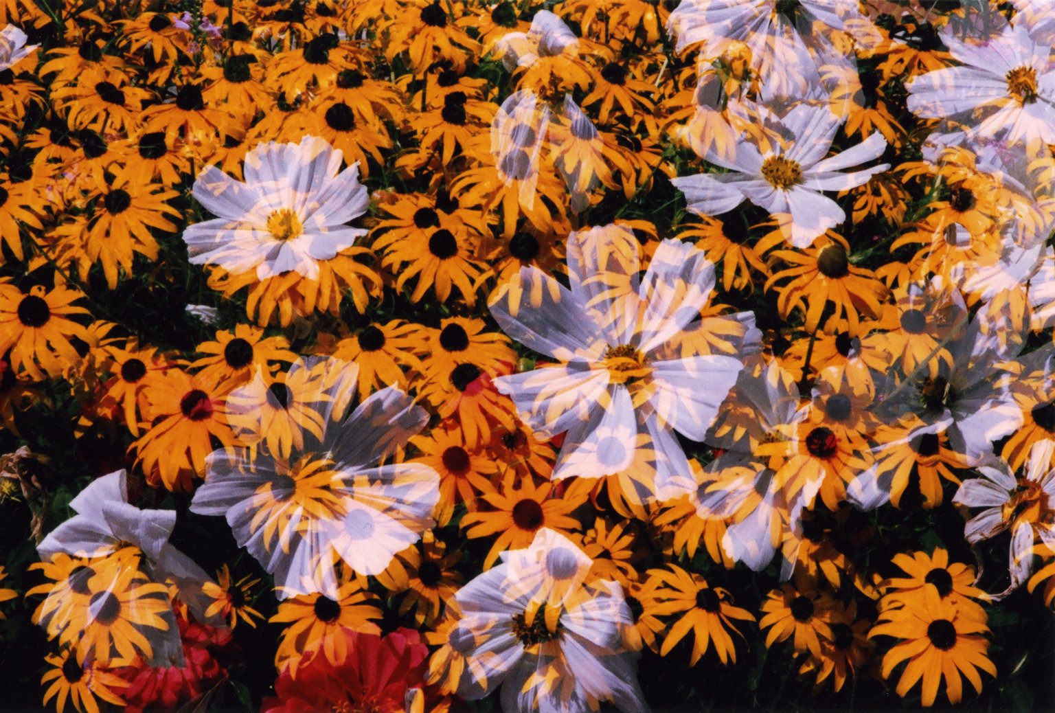 Double Exposure- White flowers over yellow flowers