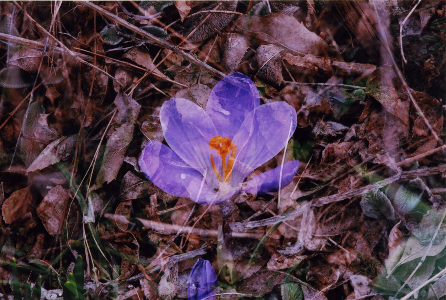 Double Exposure-Purple flower over brown leaves