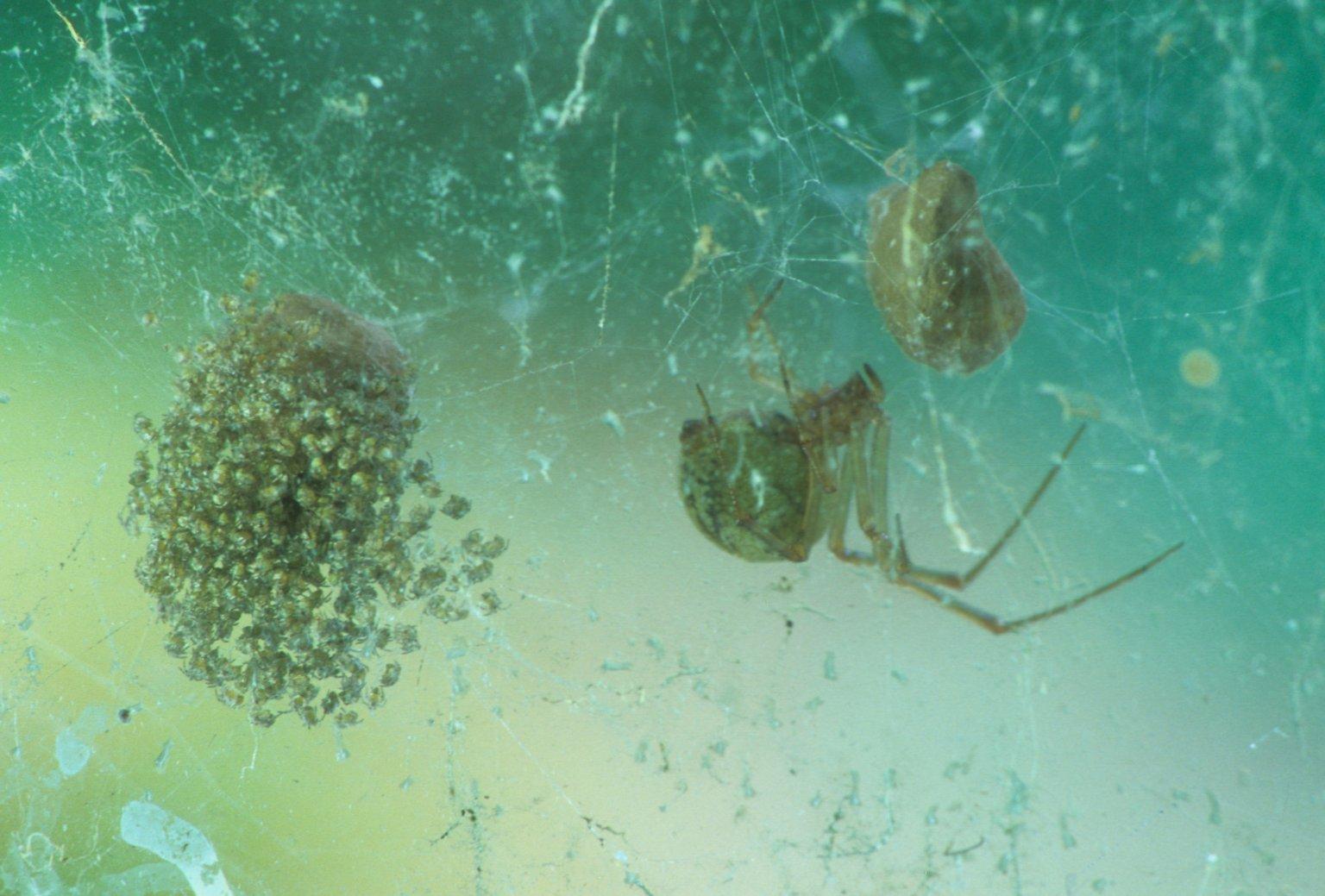 Cob web spider (Theridiidae)