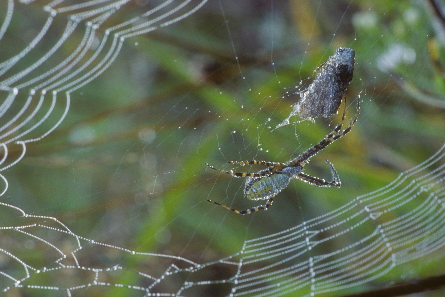Banded garden spider Argiope trifasciata (Araneidae)