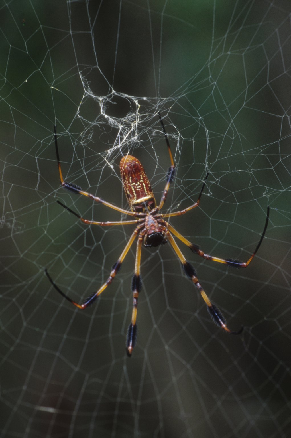 Golden silk orb weaver (Araneidae)