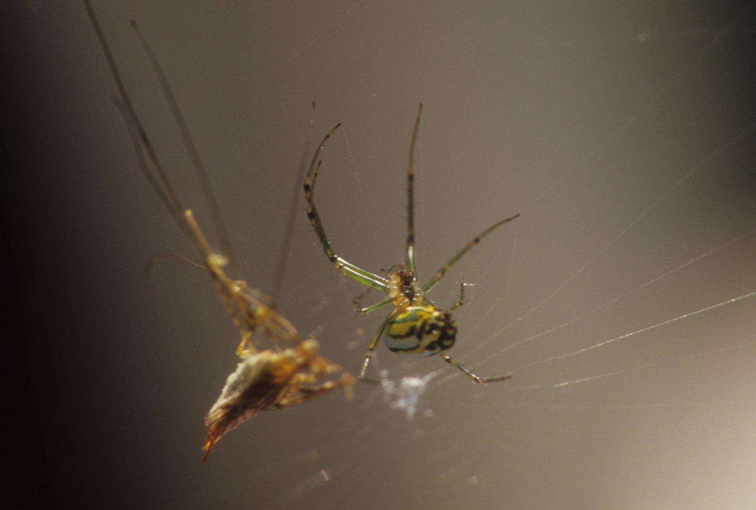 Orchard spider Leucauge venusta (Tetragnathidae)