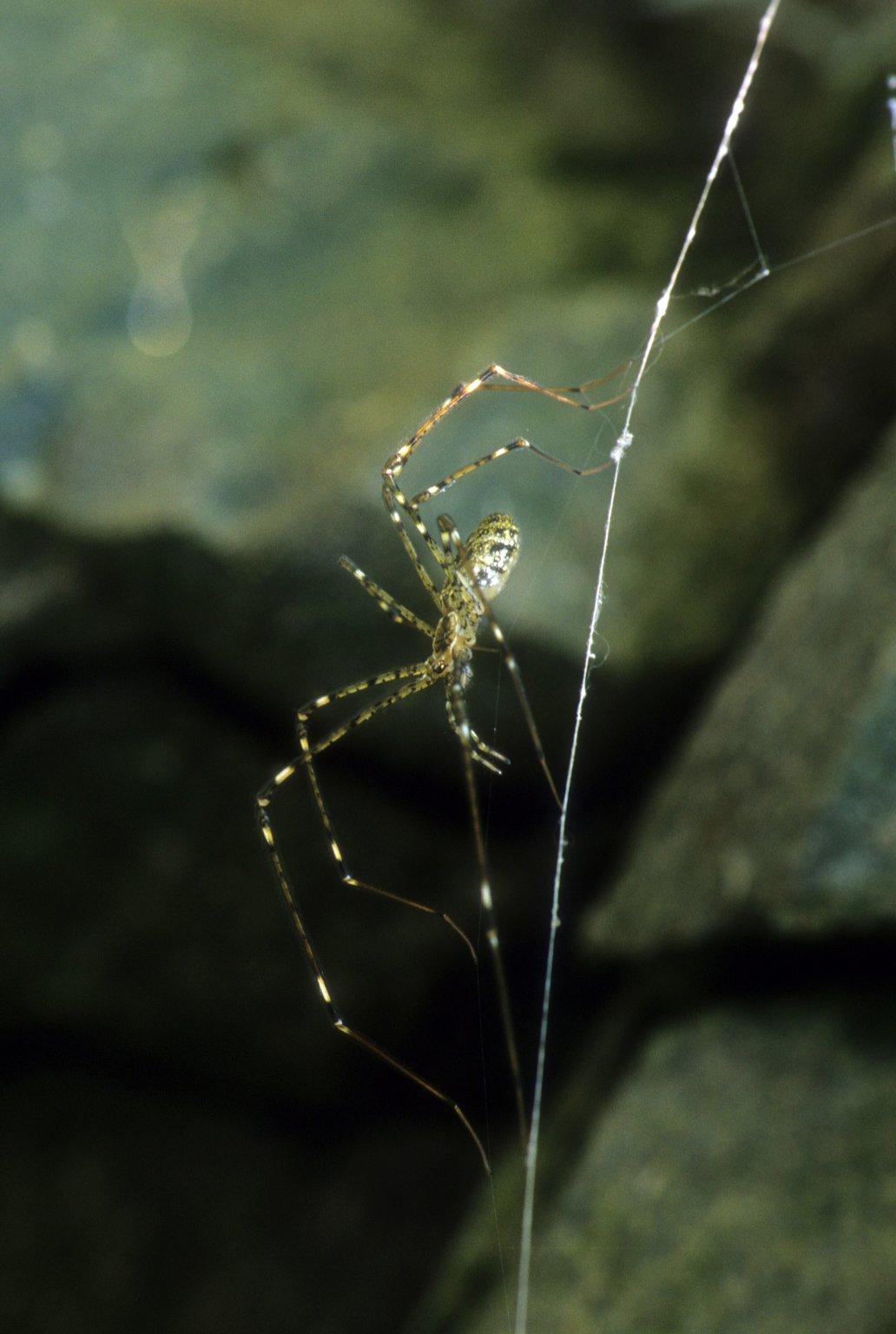 Lampshade spiderHypochilus sp (Hypochilidae)