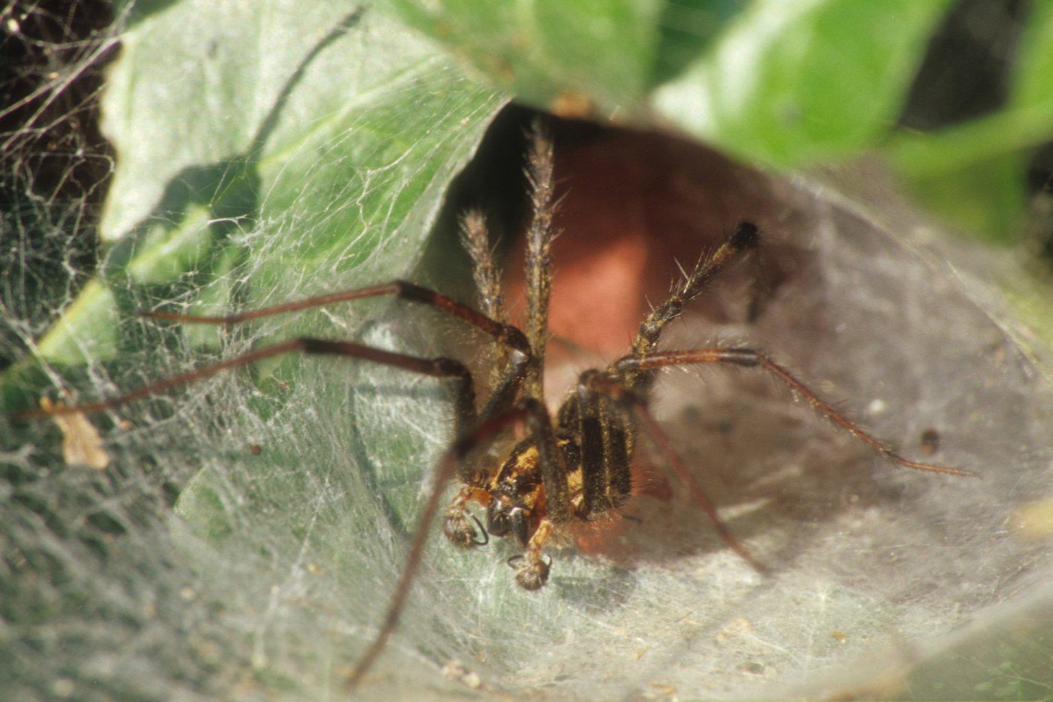 Agelenopsis sp (Agelenidae)