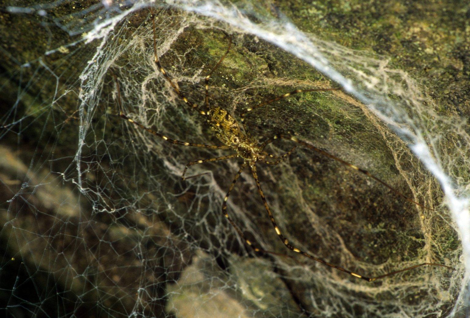 Lampshade spider Hypochilus sp (Hypochilidae)