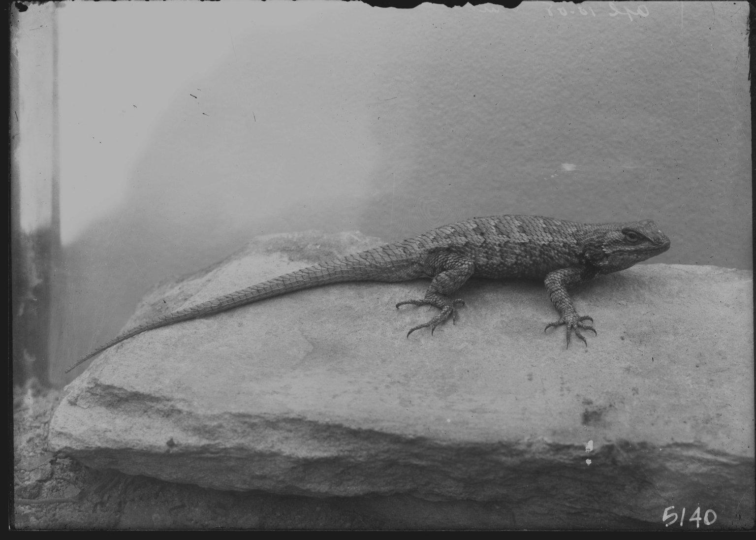 Unindentified Lizard