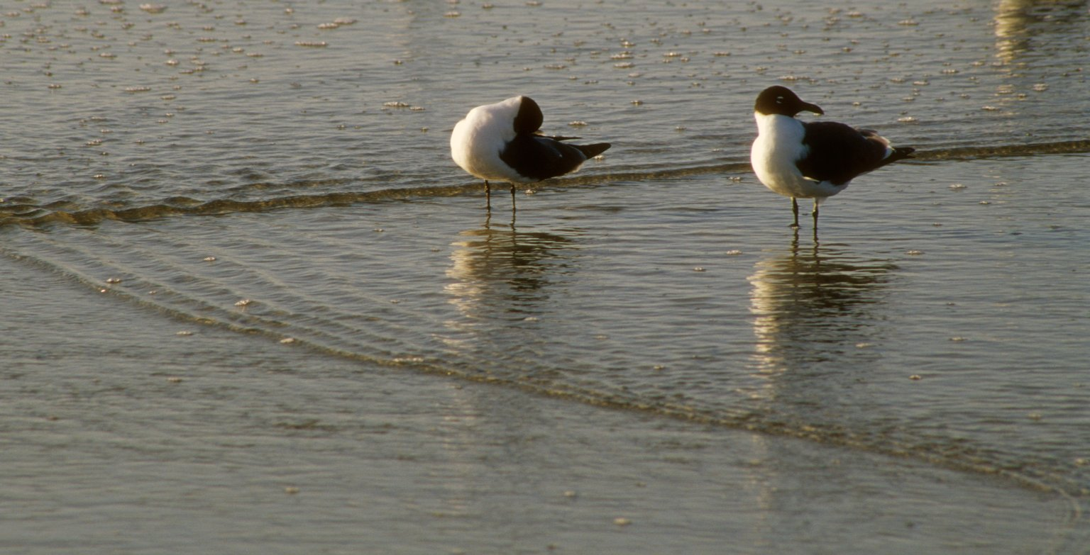 Two Bonaparte's Gulls