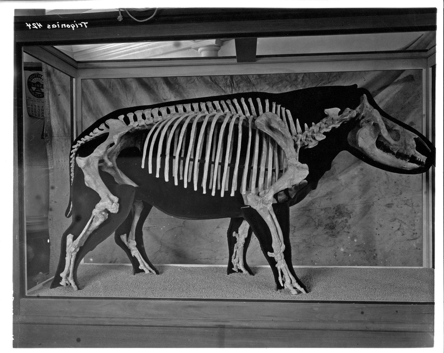 Trigonias Skeleton Half-Model