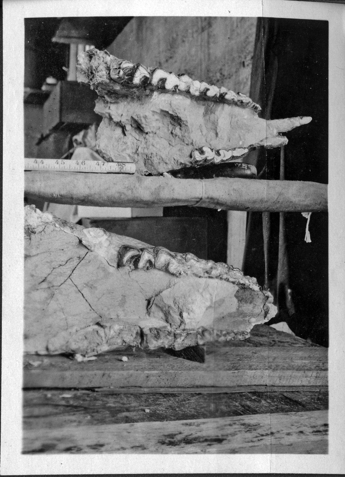 Trigonias Jawbone from Horsetail Creek Excavation