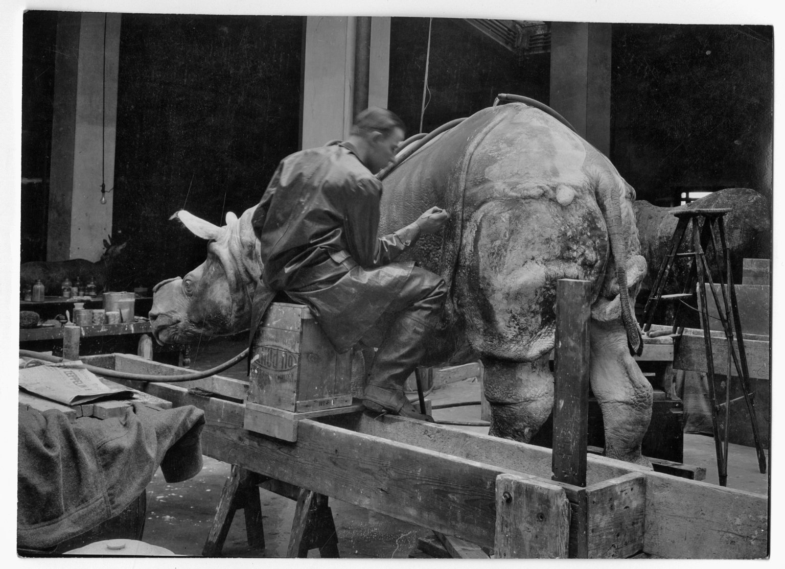 Rhinoceros mount being prepared for exhibit The Field Museum