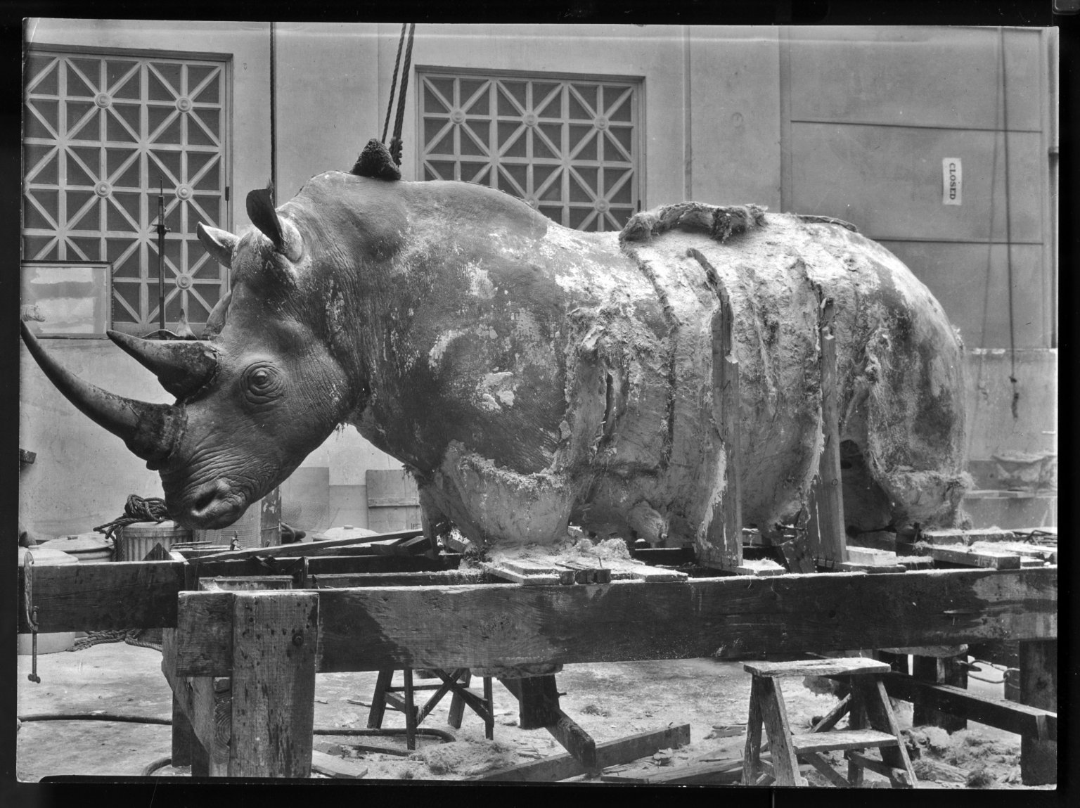 Rhinoceros mount being prepared for exhibit at the Filed Musuem