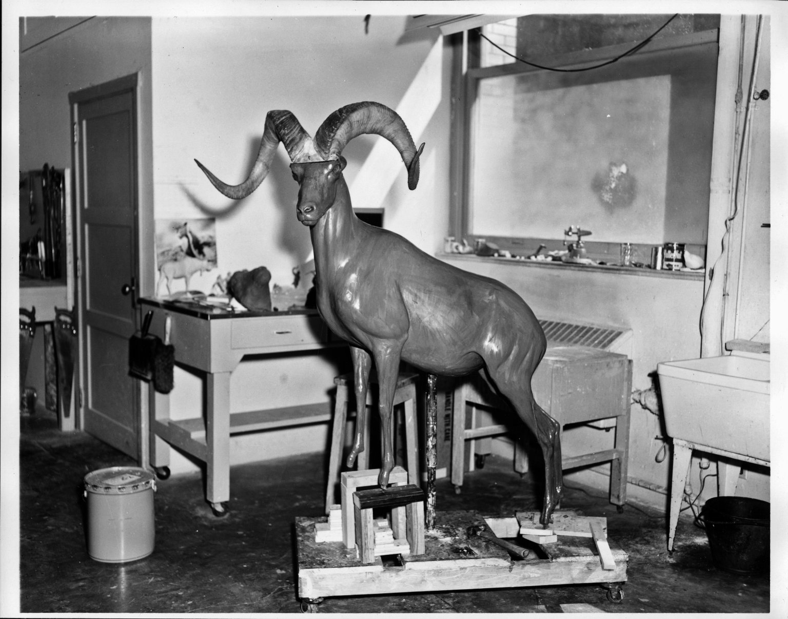 Mount Being Prepared for Big Horn Sheep Exhibit