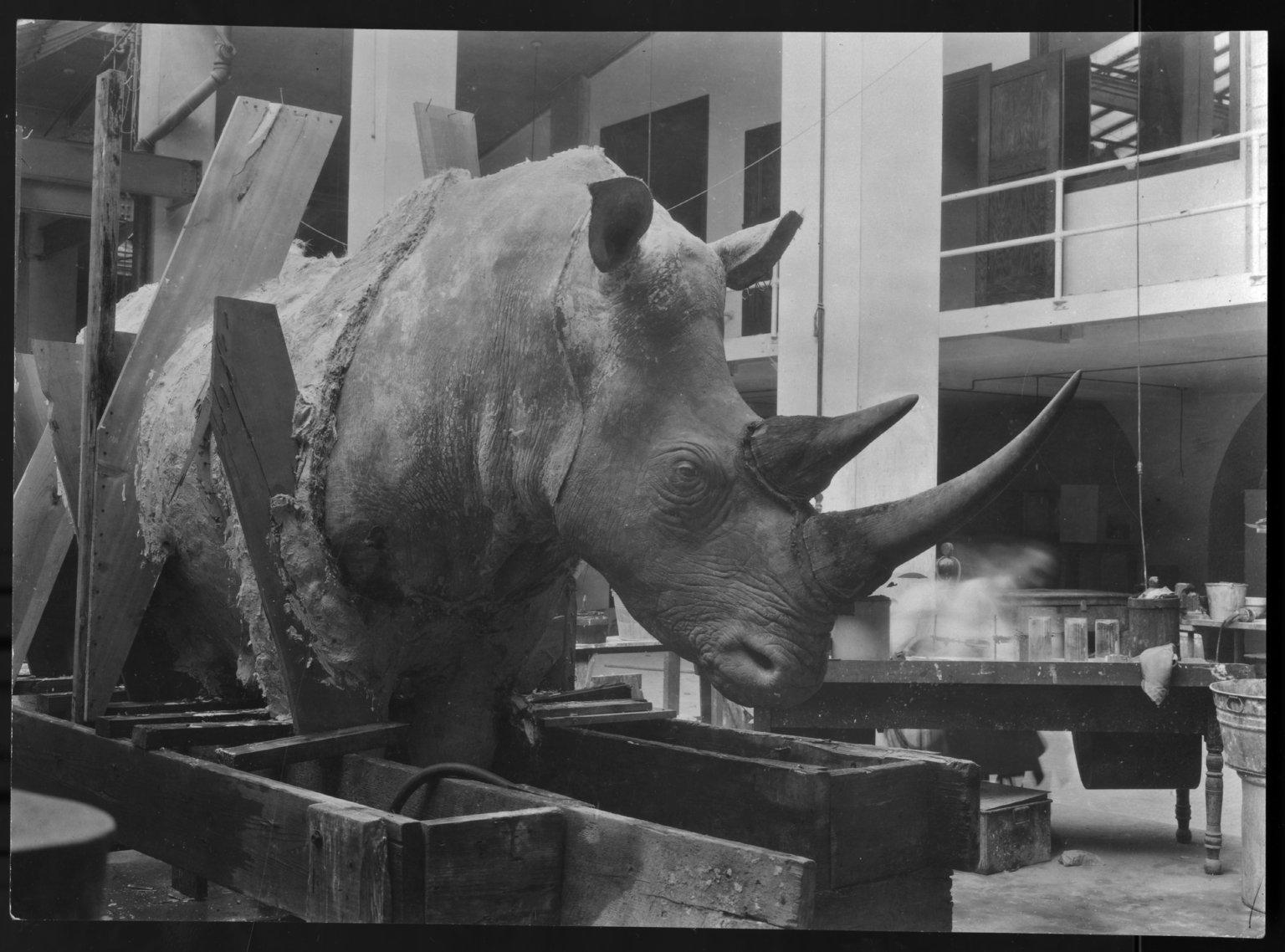 Rhinoceros mount being prepared for exhibit The Field Museum