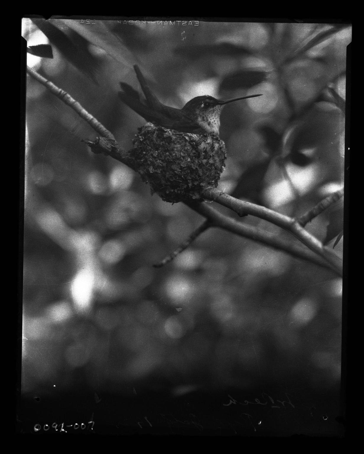 Female Broad-tailed Hummingbird on its nest.