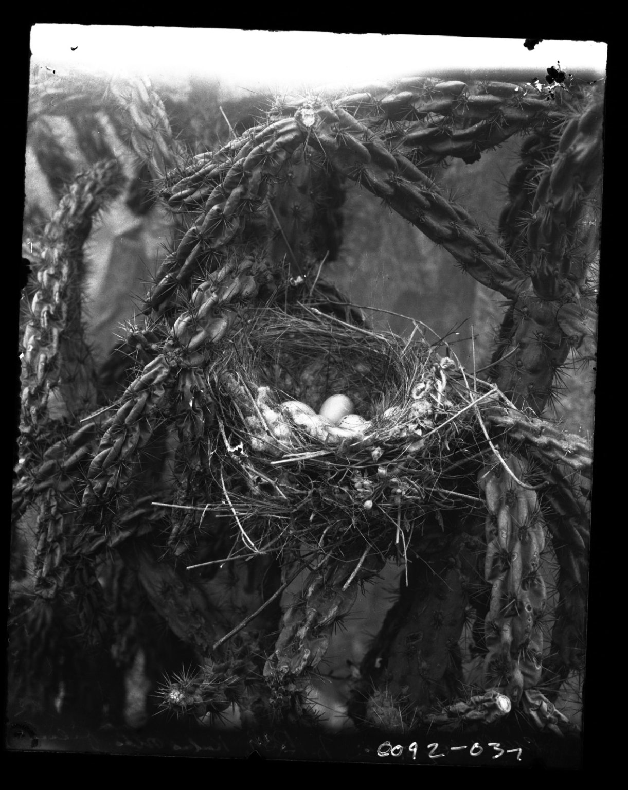Nest and eggs in a Cholla Cactus in the Western USA.