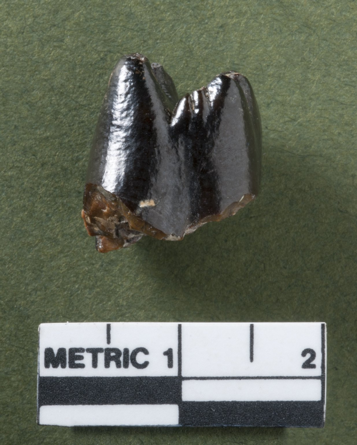 Stylinodon teeth, rotated view