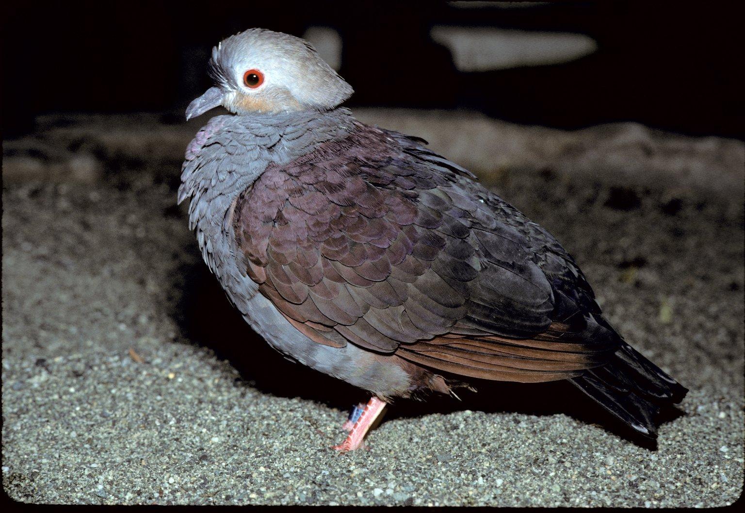 Quail-dove