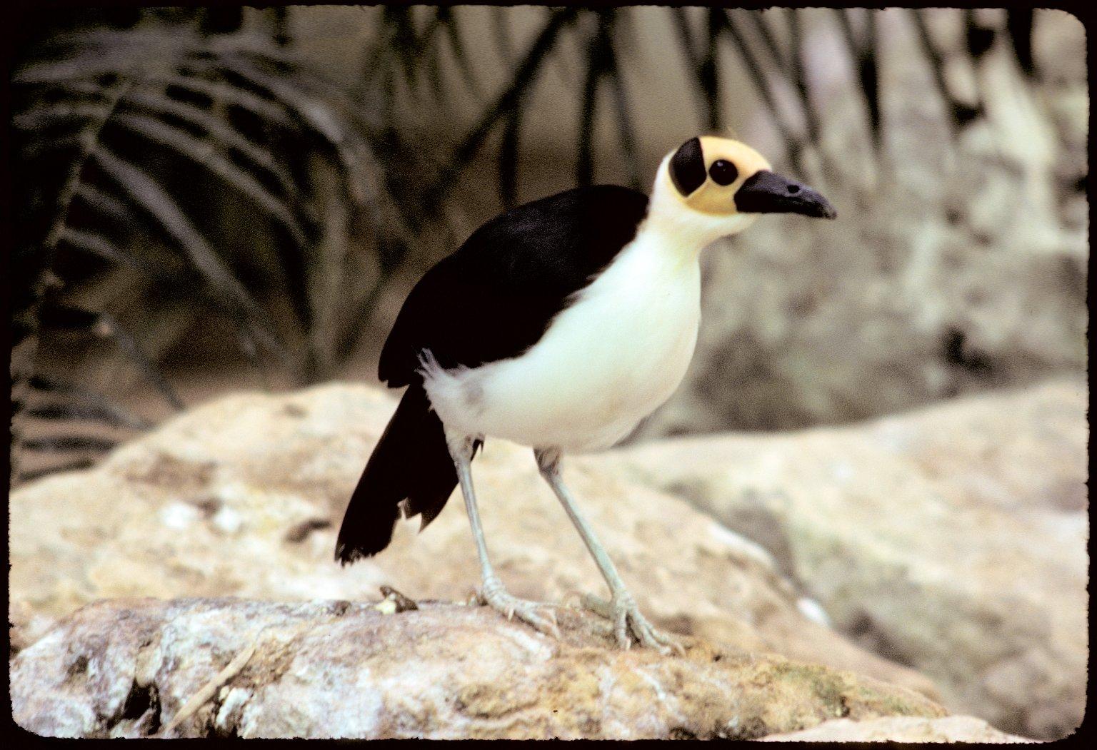 White-necked Picathartes or White-necked Rockfowl