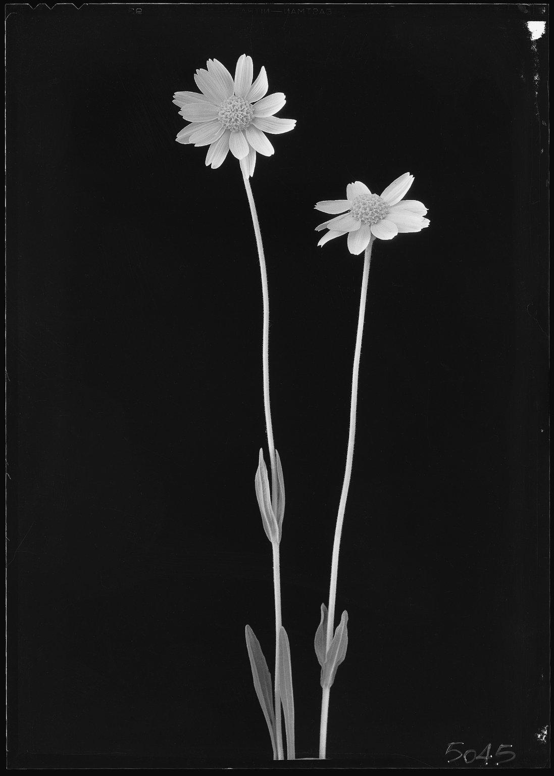 Wild calendula