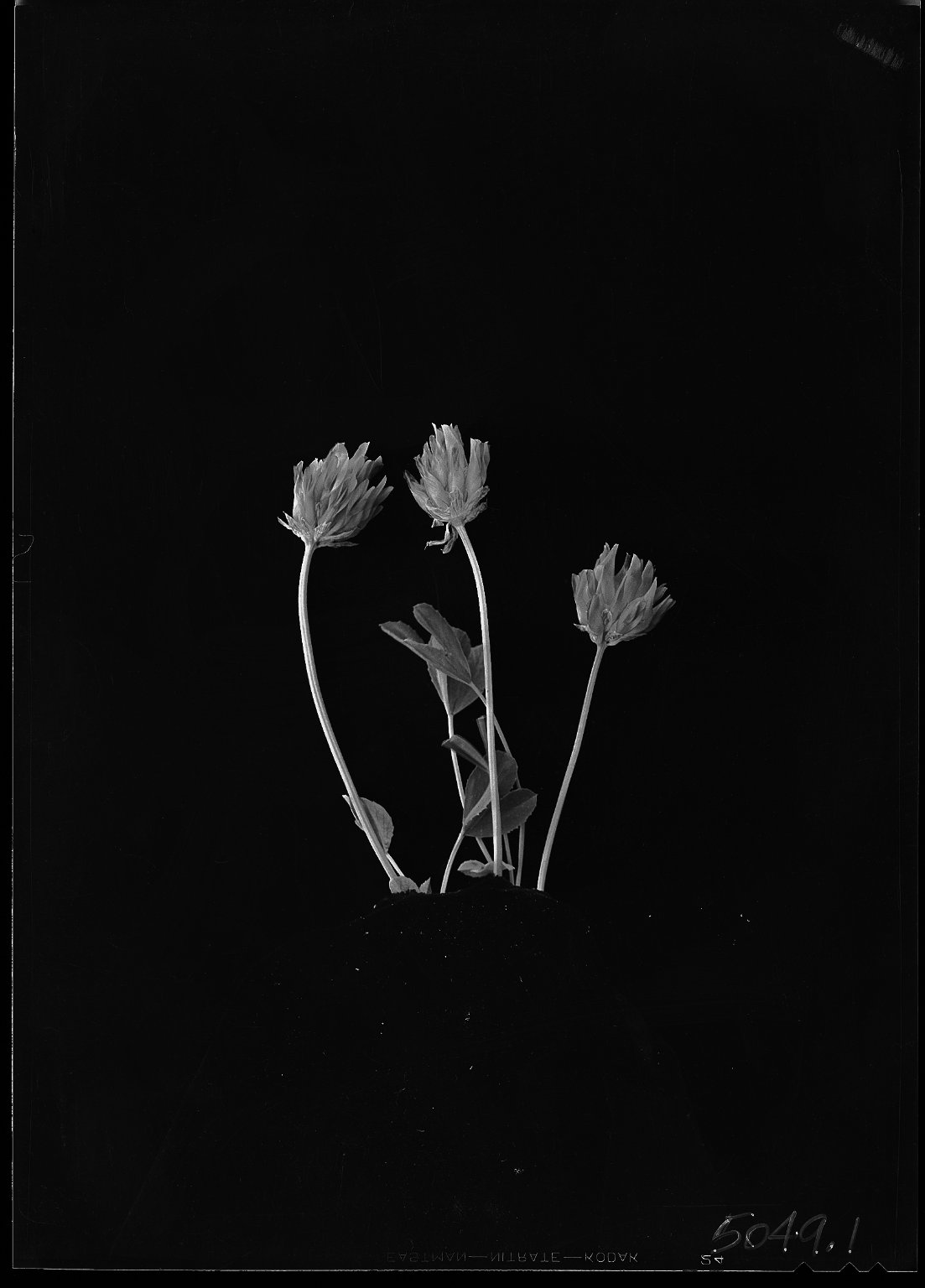 Alpine clover