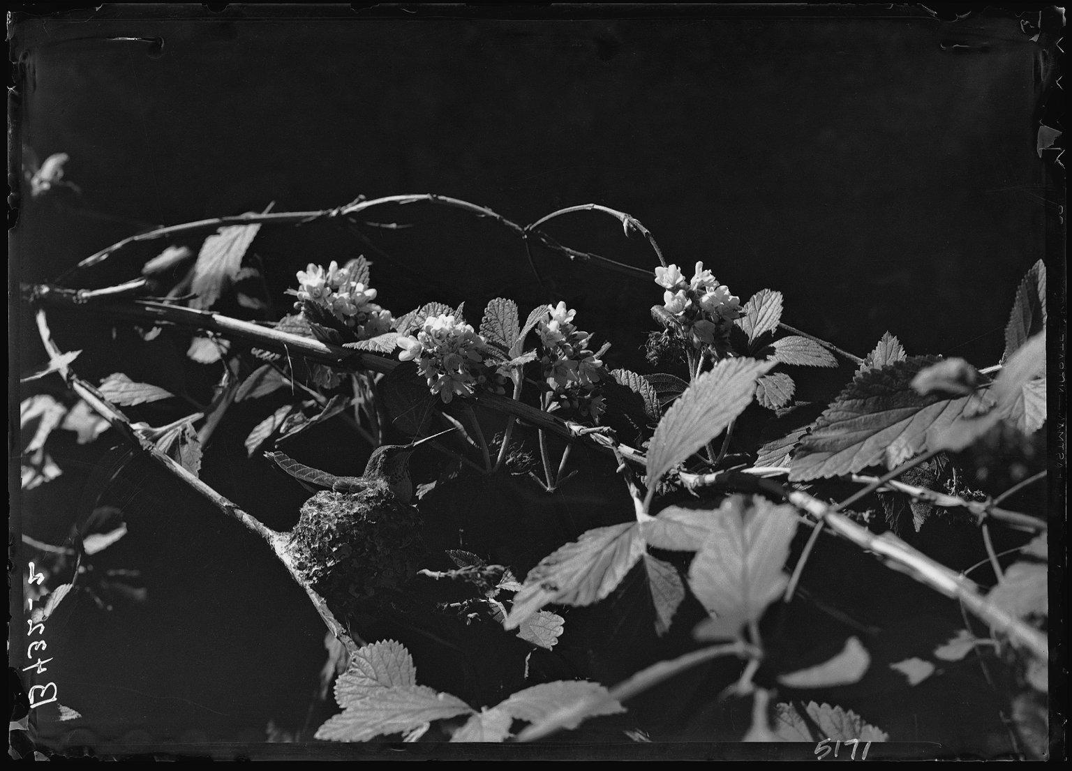 Broad-tailed Hummingbird on Nest