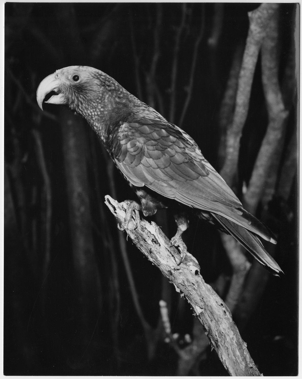 Kaka, Nestor meridionalis