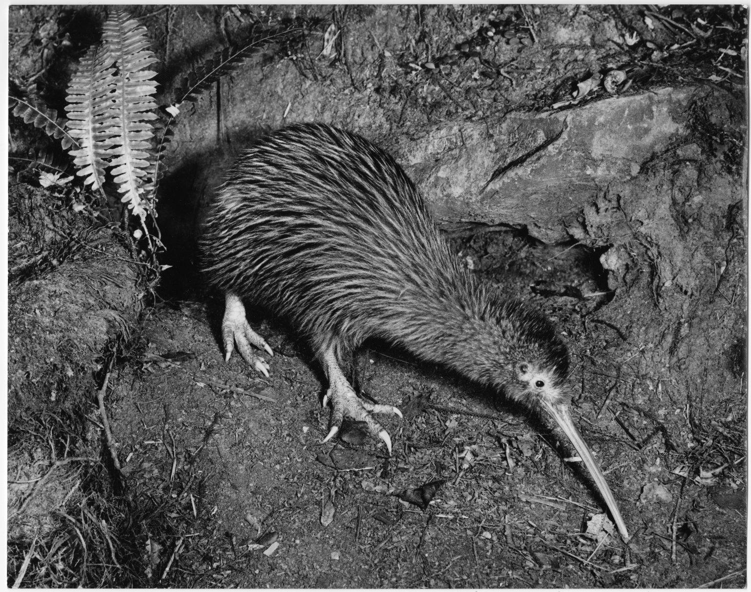 Kiwi, Apteryx australis