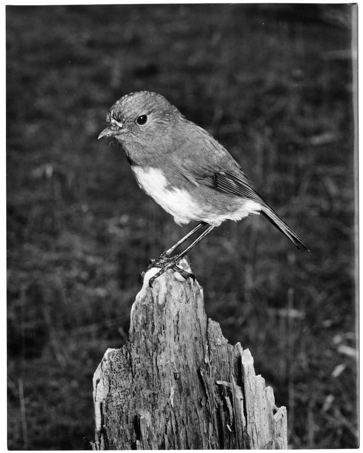 South Island Robin, Petroica australis