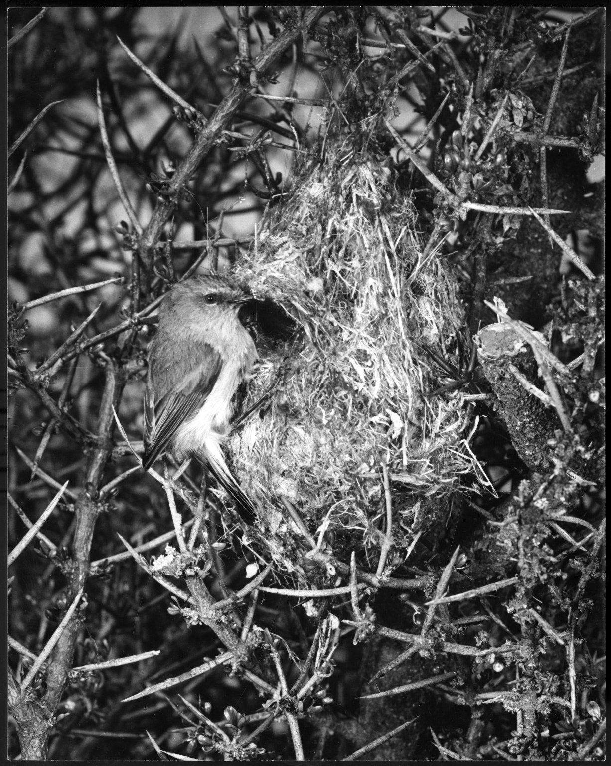 Grey Warbler, Gerygone igata