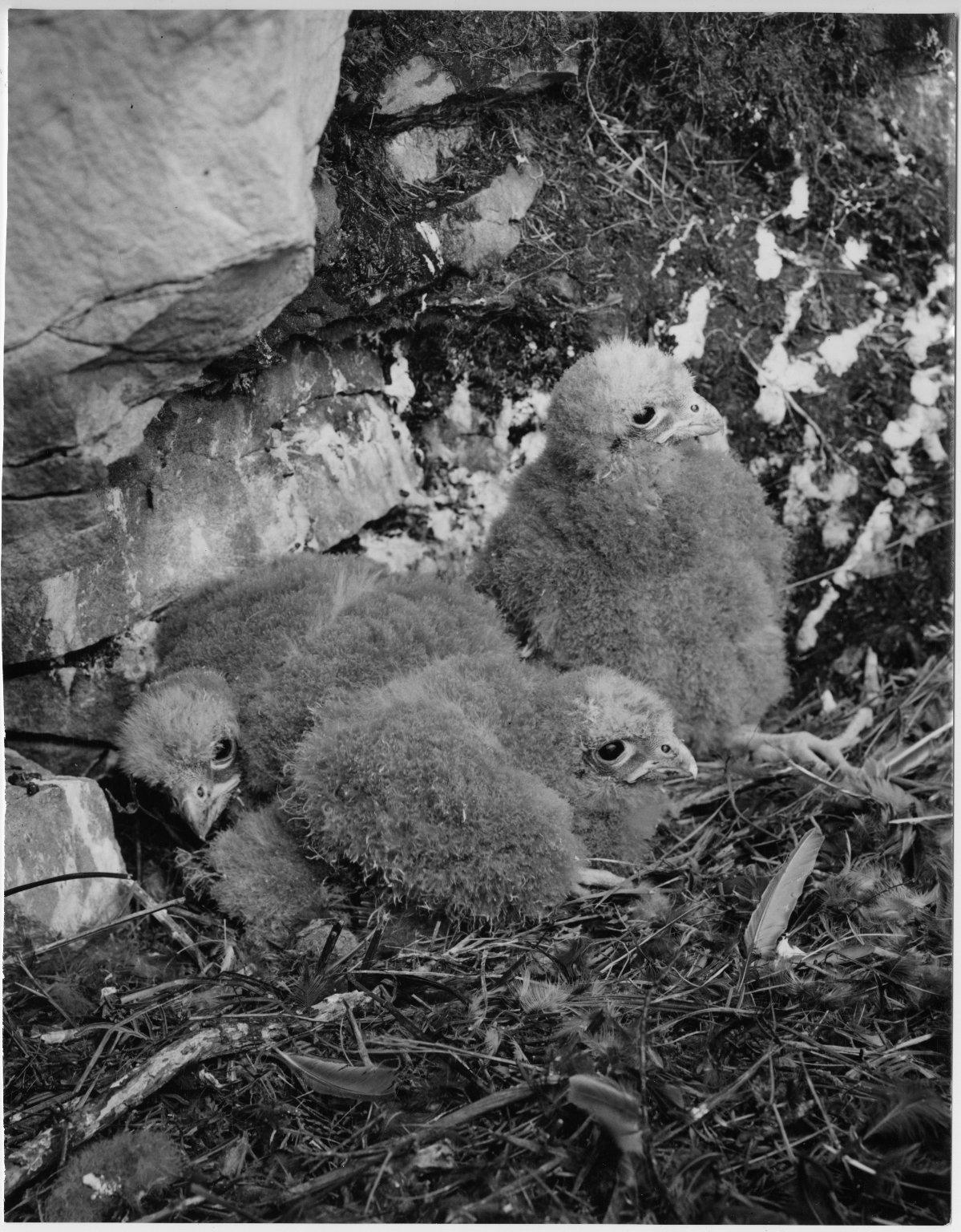 Falcon, Falco novaseelandiae