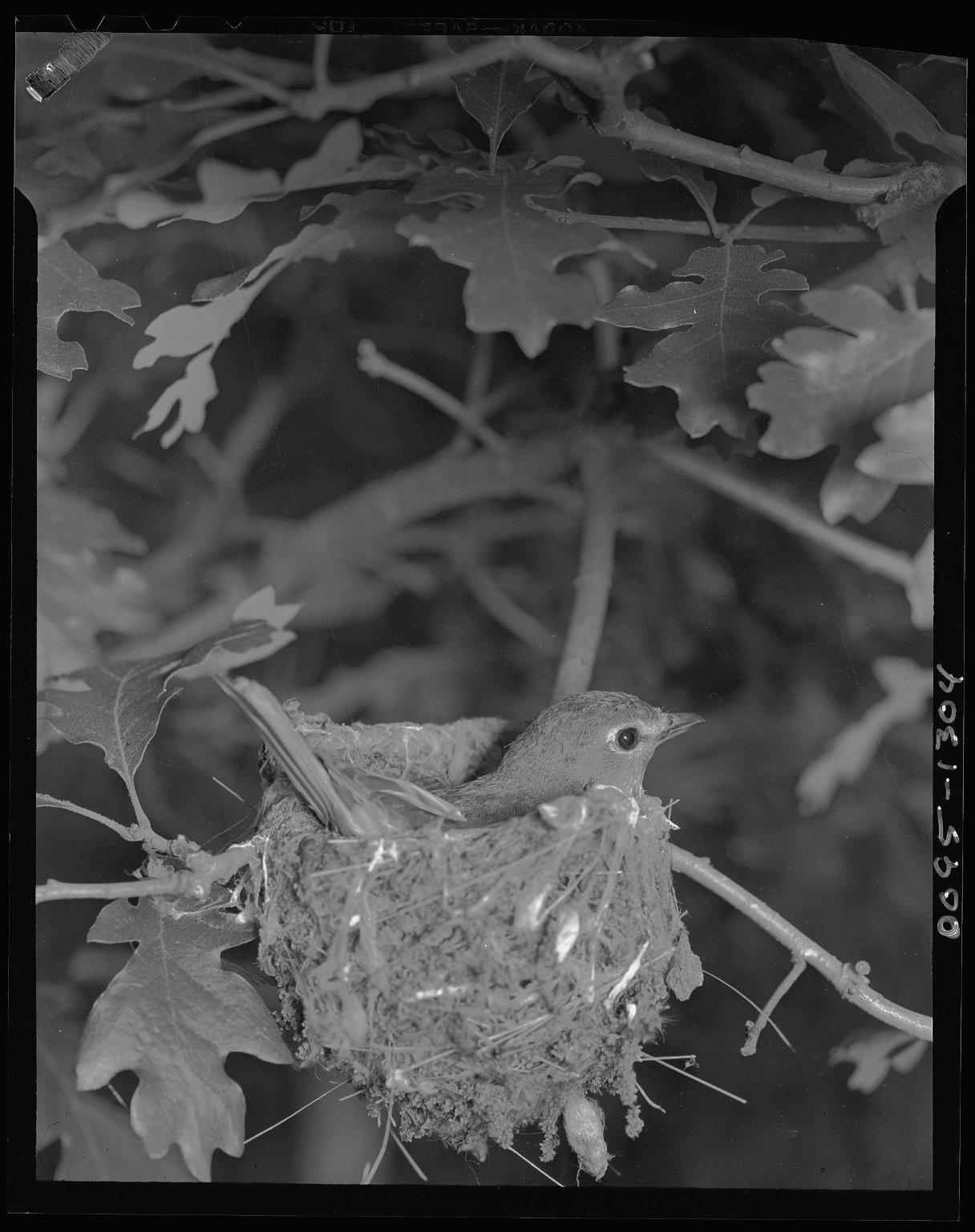Solitairy Vireo on nest in scrub oak