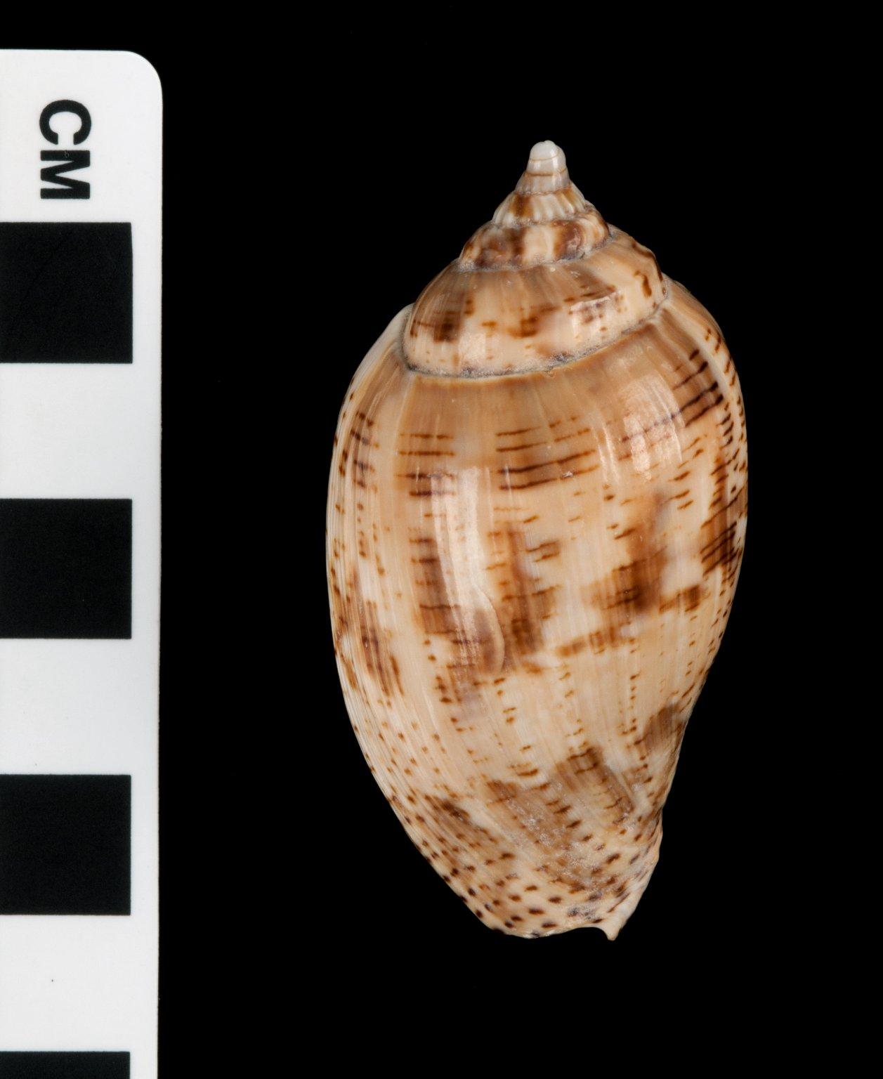 Harpulina lapponica