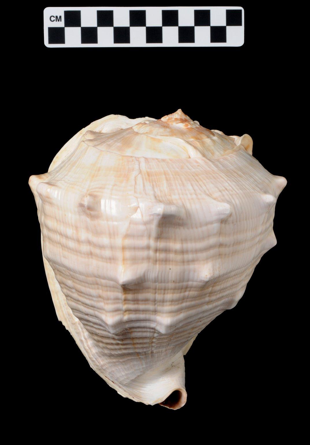 Cassis madagascariensis