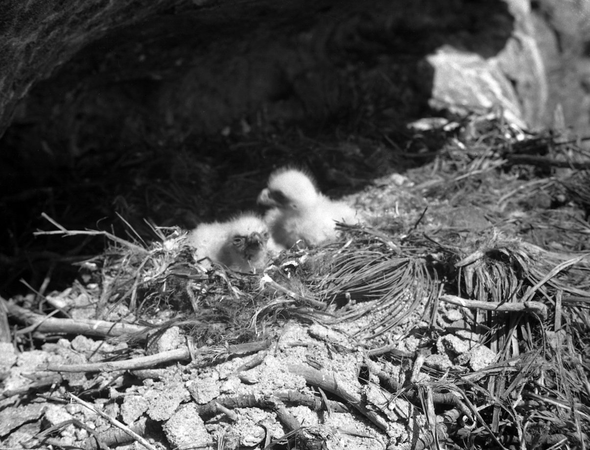 Two downy Golden Eagle eaglets in the nest.